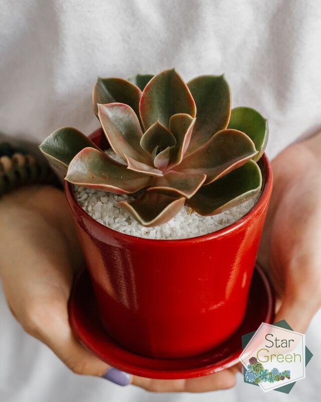 Магазин цветов StarGreen Эхеверия марсала в красном - фото 2