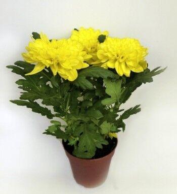 Магазин цветов Ветка сакуры Хризантема - фото 1