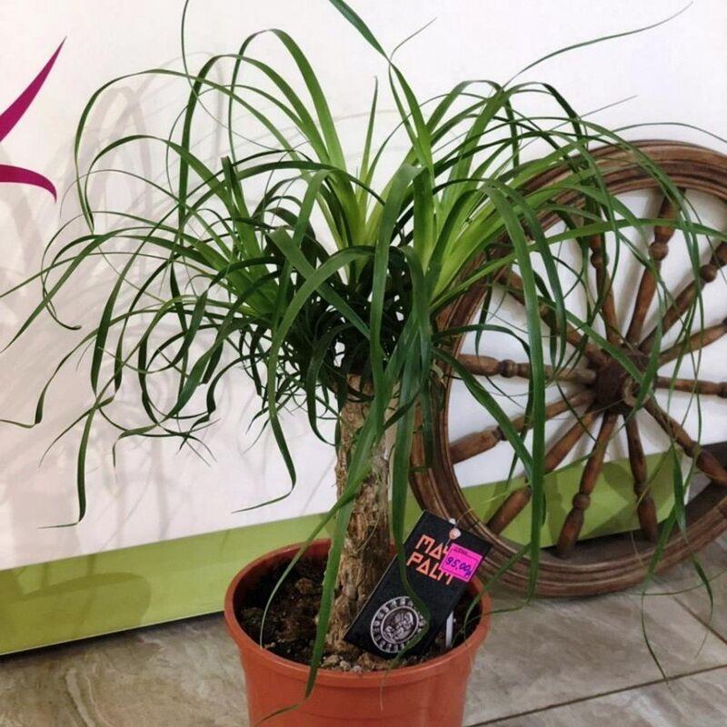 Магазин цветов Прекрасная садовница Нолина (Бокарнея) - фото 1