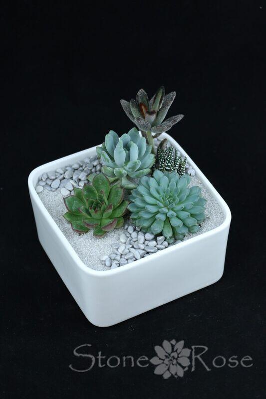 Магазин цветов Stone Rose Суккуленты в белом керамическом кашпо - фото 1