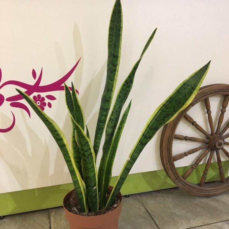 Магазин цветов Прекрасная садовница Сансевиерия - фото 1