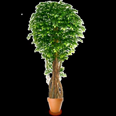 Подарок Gardenmonia Фикус Бенджамина мелколистный 441.214.70-00 - фото 1