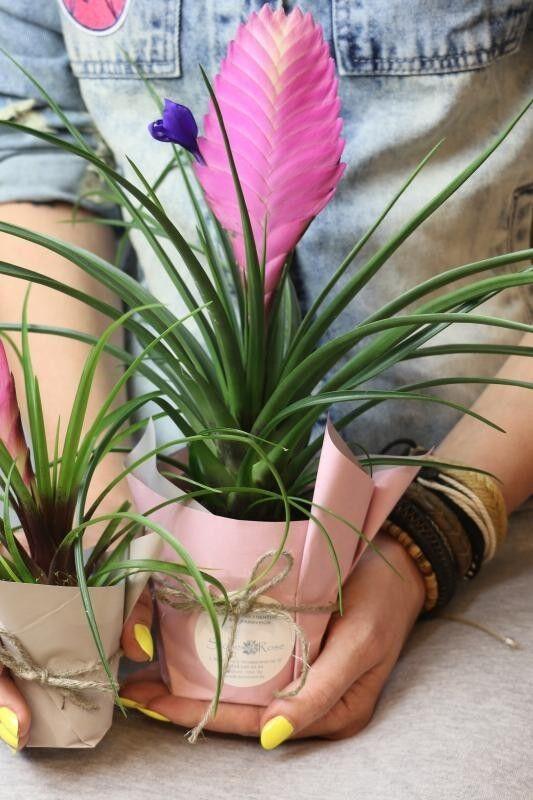 Магазин цветов Stone Rose Тилландсия Анита (Синяя) - фото 1