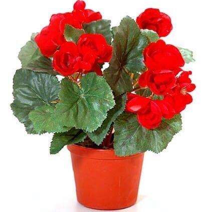 """Магазин цветов Долина цветов Цветы в горшках """"Бегония"""" - фото 1"""