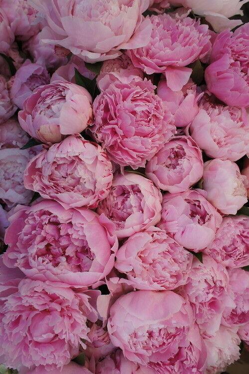 Магазин цветов Прекрасная садовница Пион Сара Бернар - фото 2