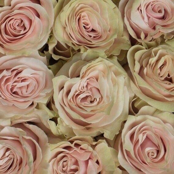 Магазин цветов Прекрасная садовница Роза Пинк Мондиаль - фото 1