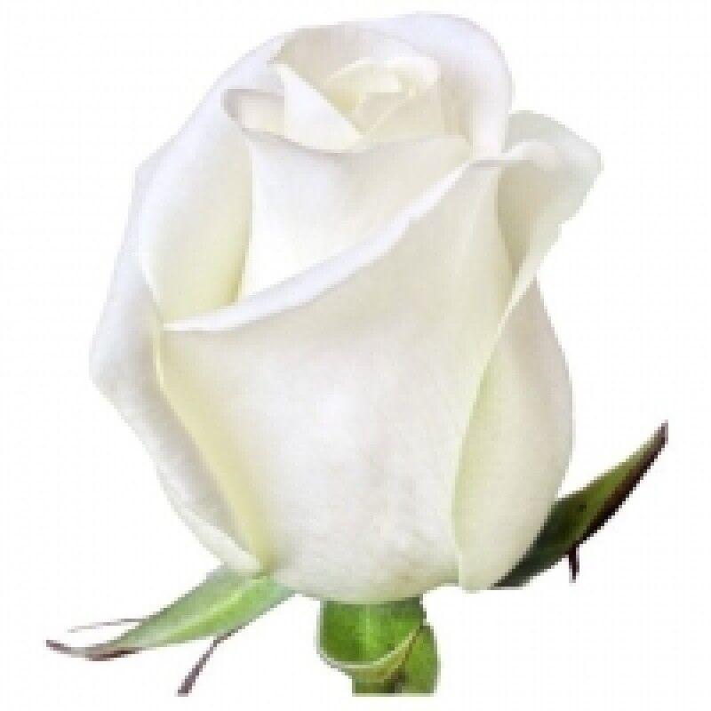 Магазин цветов Florita (Флорита) Роза AKITO (Акито) 60 см - фото 1