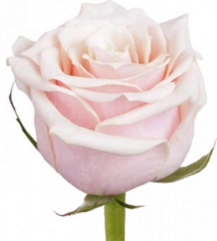 Магазин цветов Florita (Флорита) Роза TALEA (Талея) 60 см - фото 1