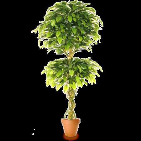 Подарок Gardenmonia Фикус Бенджамина топиарий двойной 441.214.13-00 - фото 1