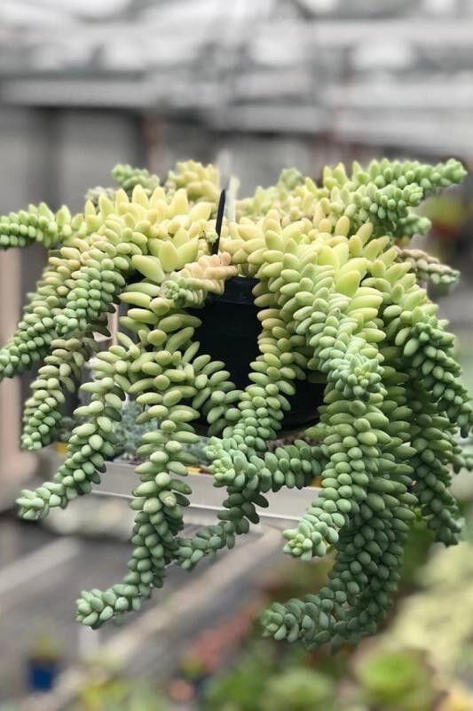 Магазин цветов Stone Rose Седум Моргана (Sedum morganinum) - фото 3