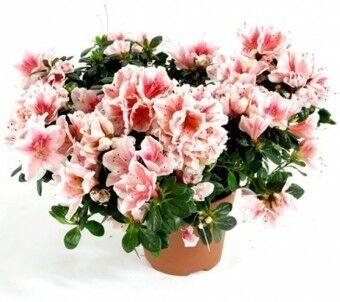 Магазин цветов Ветка сакуры Азалия - фото 1