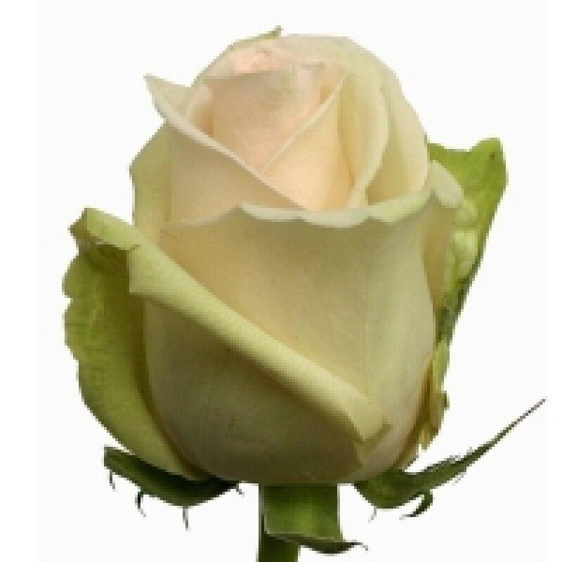 Магазин цветов Florita (Флорита) Роза (LA PERLA) Ла Перла 60 см - фото 1