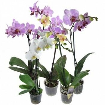 Магазин цветов Ветка сакуры Орхидея «Фаленопсис» - фото 1