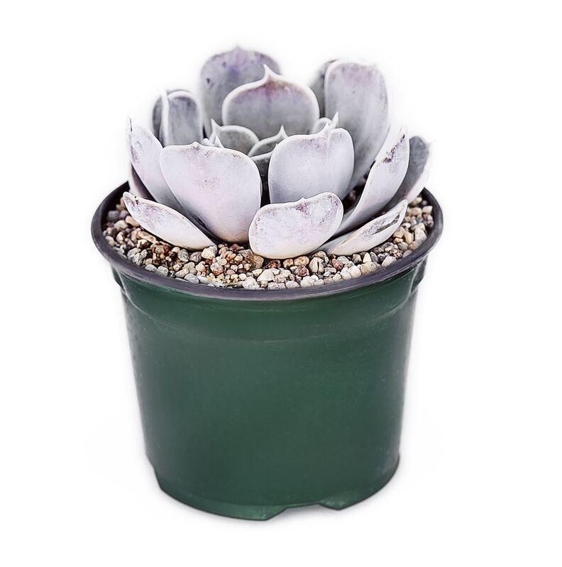 Магазин цветов Stone Rose Echeveria lilacina (Эхеверия Лилацина) - фото 1