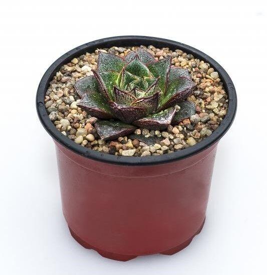 Магазин цветов Stone Rose Echeveria purporeum (Эхеверия пурпореум) - фото 1
