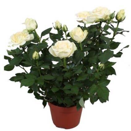 """Магазин цветов Долина цветов Цветы в горшках """"Роза"""" - фото 1"""