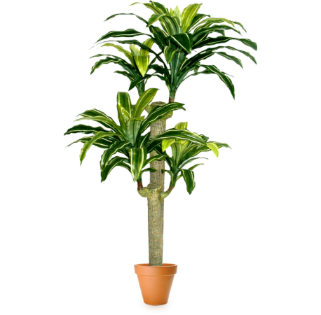 Подарок Gardenmonia Драцена массенджеана «Фонтан идей» 441.115.00-00 - фото 1