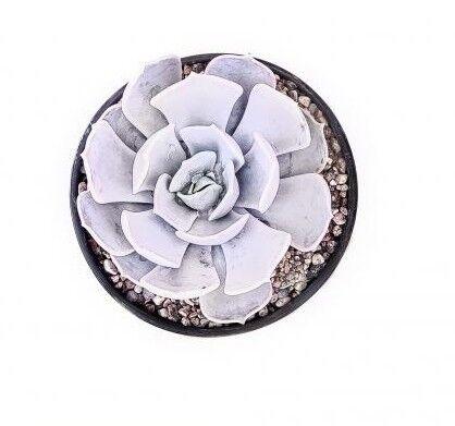 Магазин цветов Stone Rose Echeveria lilacina (Эхеверия Лилацина) - фото 2