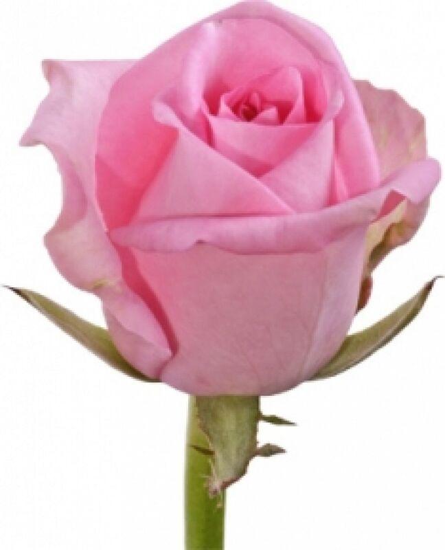 Магазин цветов Florita (Флорита) Роза REVIVAL (Ревивал) 60 см - фото 1