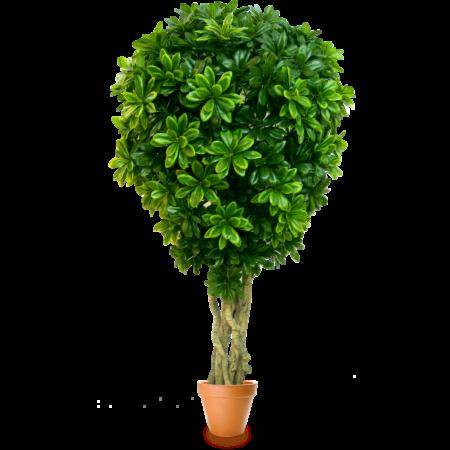 Подарок Gardenmonia Питтоспорум «Воздушный шар» 441.113.52-00 - фото 1