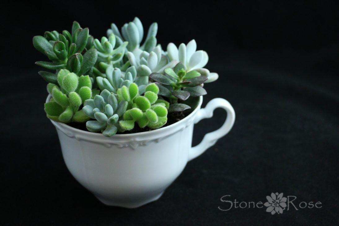 Магазин цветов Stone Rose Суккуленты в белой керамической кружке - фото 1