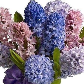 Магазин цветов Прекрасная садовница Гиацинт микс - фото 1