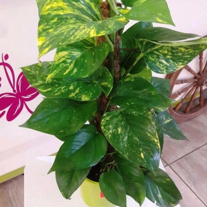 Магазин цветов Прекрасная садовница Эпипремнум (Сциндапсус) - фото 1