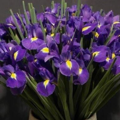Магазин цветов Прекрасная садовница Ирис синий - фото 1