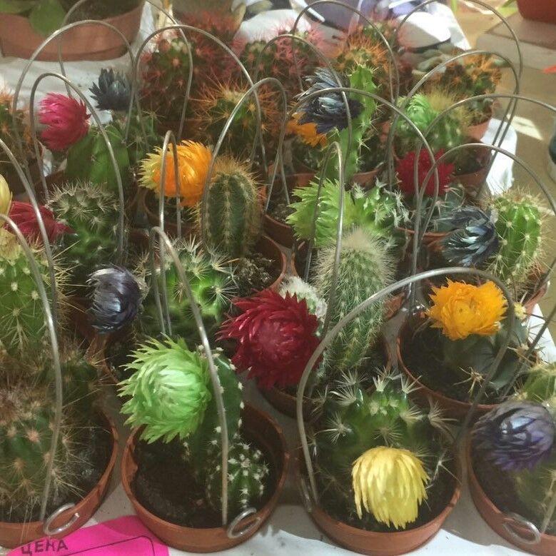 Магазин цветов Прекрасная садовница Кактус микс - фото 1
