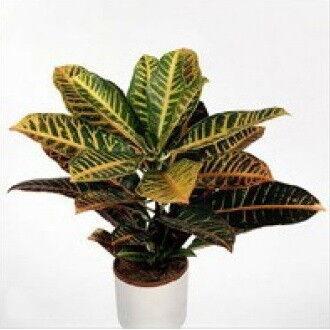 Магазин цветов Фурор Комнатное растение «Кротон» - фото 1