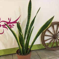 Магазин цветов Прекрасная садовница Сансевиерия