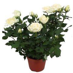 """Магазин цветов Долина цветов Цветы в горшках """"Роза"""""""