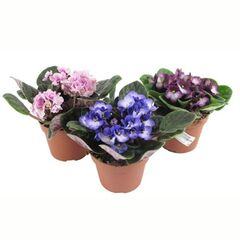 Магазин цветов Фурор Фиалка «Сенполия узамбарская»