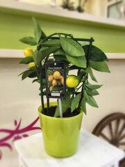 Магазин цветов Прекрасная садовница Лайм комнатный в стеклянном горшке