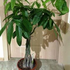Магазин цветов Прекрасная садовница Крупномерное комнатное растение «Пахира 160 см»
