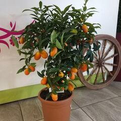 Магазин цветов Прекрасная садовница Цитрусовое комнатное дерево «Кумкват»