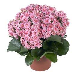"""Магазин цветов Долина цветов Цветы в горшках """"Каландива"""""""