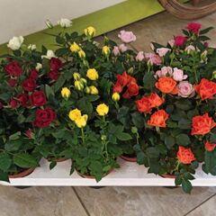 Магазин цветов Прекрасная садовница Роза кустовая микс в горшке