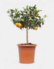 Магазин цветов Florita (Флорита) Мандарин (Citrofortunella sinaasappel op stam)