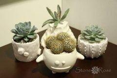 Магазин цветов Stone Rose Кактусы и суккуленты в керамических кашпо