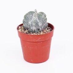 Магазин цветов Stone Rose Astrophytum (Астрофитум)