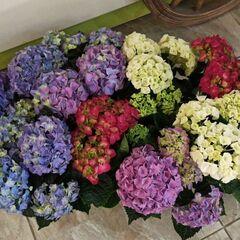 Магазин цветов Прекрасная садовница Гортензия (гидрангия) микс