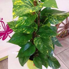 Магазин цветов Прекрасная садовница Эпипремнум (Сциндапсус)