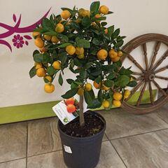 Магазин цветов Прекрасная садовница Цитрус Каламондин
