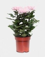 Магазин цветов Florita (Флорита) Хризантема Зембла (Chrysánthemum)