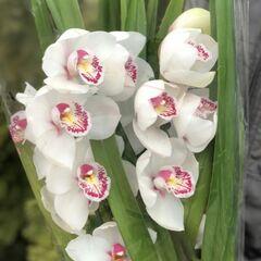 Магазин цветов Прекрасная садовница Цимбидиум в горшке