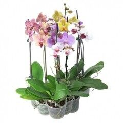 Магазин цветов Планета цветов Орхидея