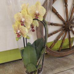 Магазин цветов Прекрасная садовница Орхидея (фаленопсис) на перголе