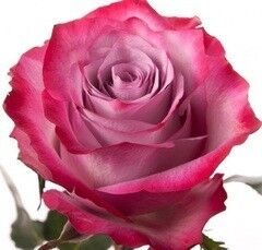 Магазин цветов Долина цветов Роза Дип
