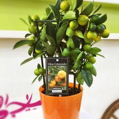 Магазин цветов Прекрасная садовница Мандариновое дерево в стеклянном горшке
